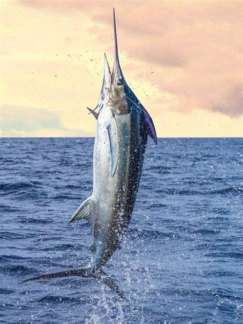 blue marlin photo magic fishin marlin fishing blue