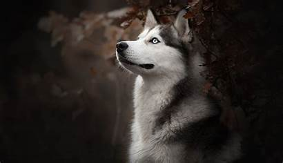 Husky Dog Siberian Wallpapers Breed 4k Desktop