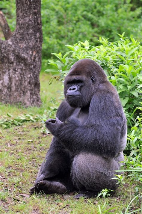 gorilla feeding gorilla facts  information