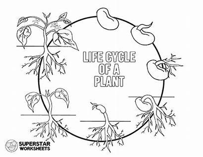 Cycle Plant Worksheet Printable Worksheets Stages Coloring