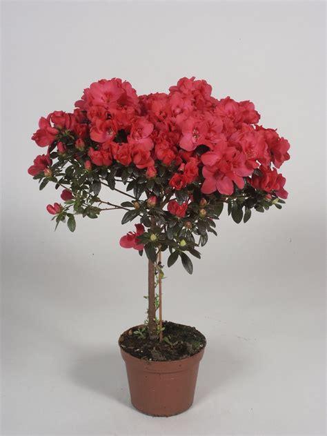 en pot exterieur azal 233 e en pot exterieur photo de fleur une pensee fleuriste