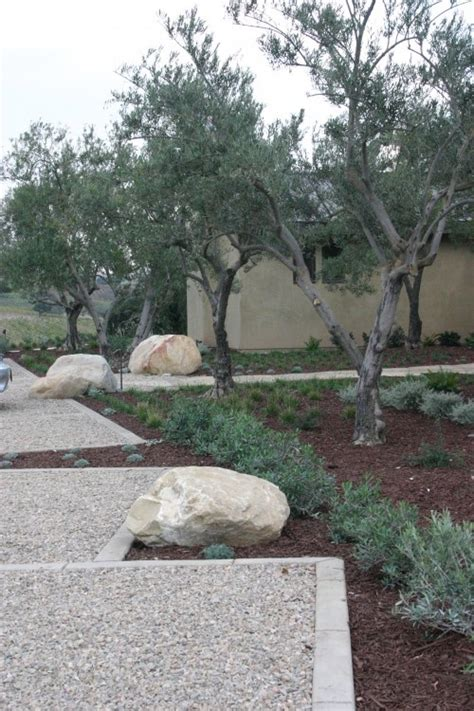 olive tree landscape 21 best images about olive trees on pinterest gardens new zealand and front yards