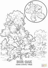 Coloring State Iowa Pages Tree Cherry Texas Printable Pecan Trees Louisiana Flower Drawing Getcolorings Sketch Comments Template Categories sketch template