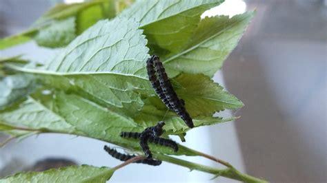 raupen bestimmung schmetterlinge lepidoptera bestimmen