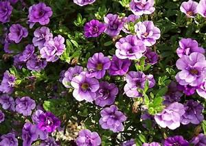 Balkonkästen Bepflanzen Beispiele : balkonkasten bepflanzen beispiele 06 calibrachoa ~ Lizthompson.info Haus und Dekorationen