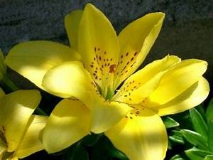 Fleur De Lys Plante : les lys de belles fleurs ornementales ~ Melissatoandfro.com Idées de Décoration