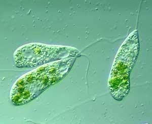 lab  protozoa  butler university studyblue