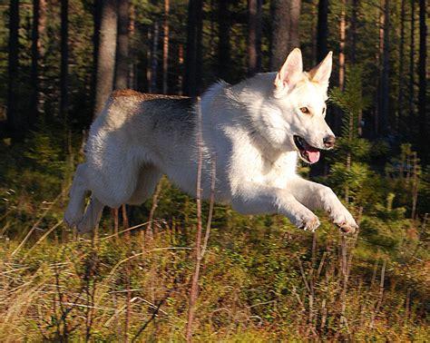 kunming wolfdog breed guide learn   kunming wolfdog