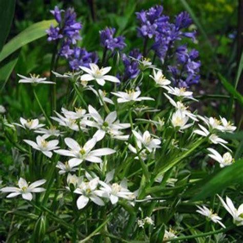 ornithogalum umbellatum of bethlehem flower bulbs x