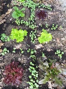 Culture Des Radis : comment tre autonome en salades toute l 39 ann e ~ Melissatoandfro.com Idées de Décoration