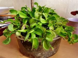 Fleischfressende Pflanze Pflege : fleischfressende pflanzen karnivoren laucha an der ~ A.2002-acura-tl-radio.info Haus und Dekorationen