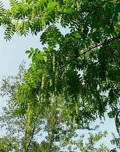 Baum Mit Weißen Blüten : pterocarya ~ Michelbontemps.com Haus und Dekorationen
