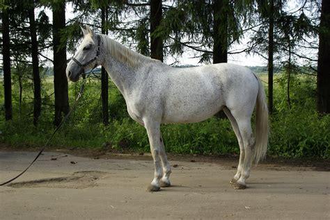 Zirgs meklē saimnieku | Zirgam.lv
