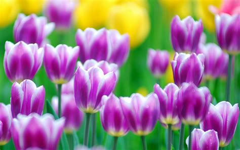 Hd Tulip Picture by Tulips Flowers Wallpapers Tulips Images Tulips Pictures
