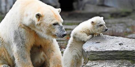 Süß Berlins Eisbärenmädchen Trifft Erstmals Auf Tierpark