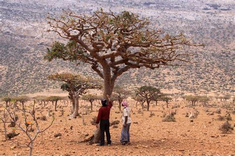 boswellia sacra tree young living farms salalah oman
