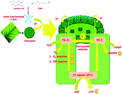 hill reaction biology photosynthesis  hill reaction
