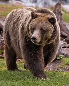 Grizzly Bear | Wild Kratts Wiki | FANDOM powered by Wikia  Grizzly
