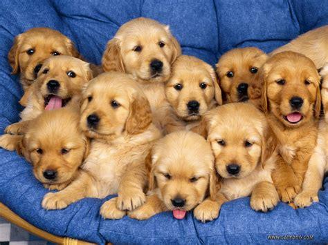 Cute Golden Retriever Puppies Photos ~ Cute Puppies