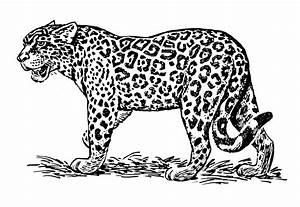 Dessin Jaguar Facile : jaguar 11 animaux coloriages imprimer ~ Maxctalentgroup.com Avis de Voitures