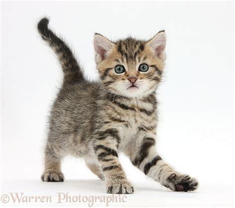 Cute Playful Tabby Kitten, 6 Weeks Old Photo Wp35583