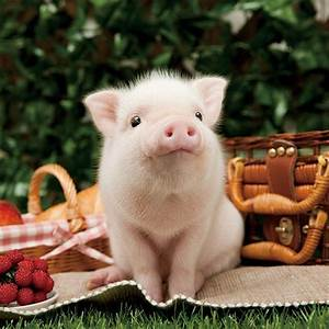 Adorable Little Baby Piglet | Pigs | Pinterest | Baby ...