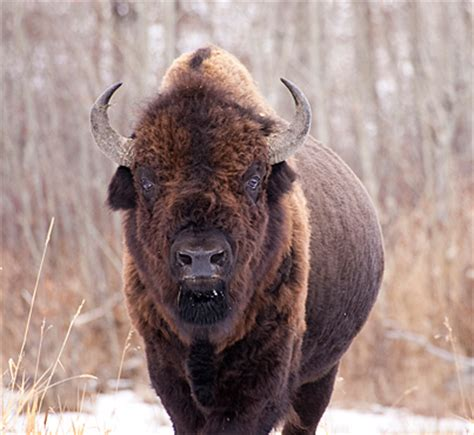 resurgence   wood bison canadian geographic