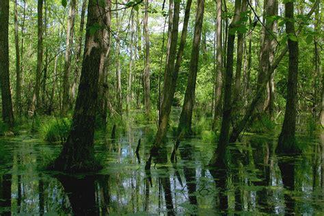 swamp stock photo freeimagescom