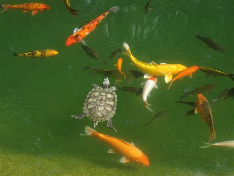 File:Goldfish in outdoor pond.png - Wikimedia Commons