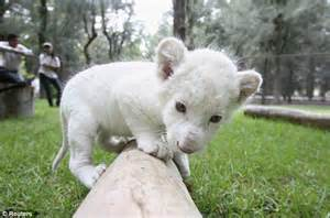 One in 300: Incredibly rare white lion born in Mexico ...