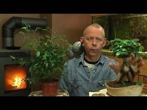 Ficus Bonsai Schneiden : ficus schneiden umtopfen und mehr zur pflege youtube videos pinterest ficus pflege und ~ Indierocktalk.com Haus und Dekorationen