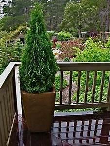 arborvitae trees in planters on deck