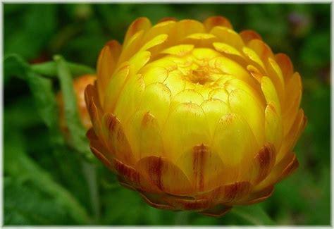 elicriso fiori coltivare elicriso aromatiche coltivazione elicriso