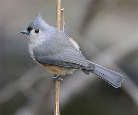 tufted titmouse what s in a name birdnote