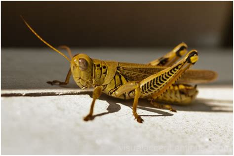 cricket animal insect  photography