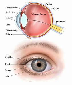 Human Eye  U2013 Eye Diagram