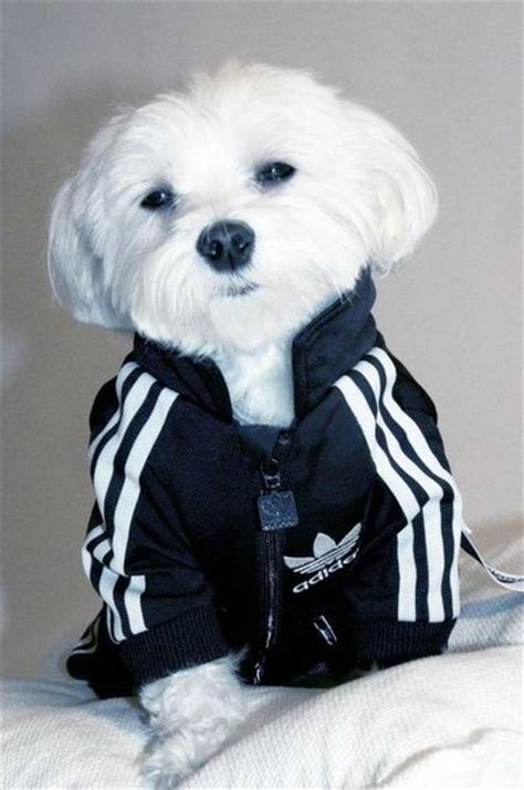 Adidas Original Dog Clothes.. Looks like a white Rudy! / puppies galore - Juxtapost