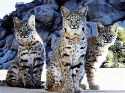 california bans bobcat trapping good news  cats bad