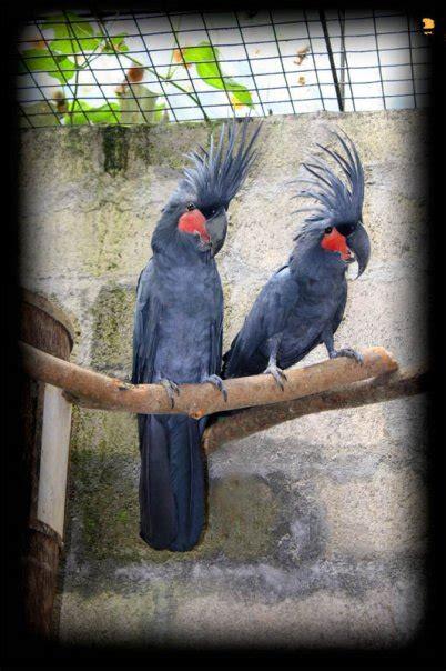 kakatua raja  indonesia palm cockatoo om kicau