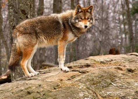 Images Of A Coyote Coyote Animals Interesting Facts Pictures