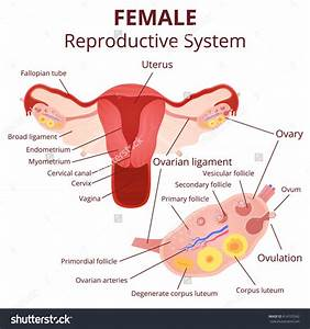 Location Of Ovaries In Women, Location, Get Free Image ...