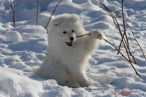 Pin By Kaylin Currier Weihs On Samoyeds Pinterest