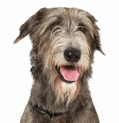 Wolfhound Irish Mix Poodle Puppies Adoptapet Petfinder