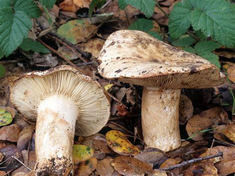 California Fungi: Russula cantharellicola