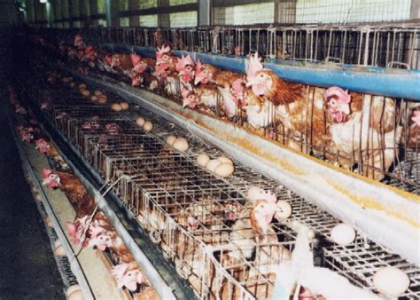 la pmaf et les conditions d 233 levage des poules pondeuses
