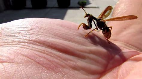Strange Creature Looks Like Part Praying Mantis And Part Wasp