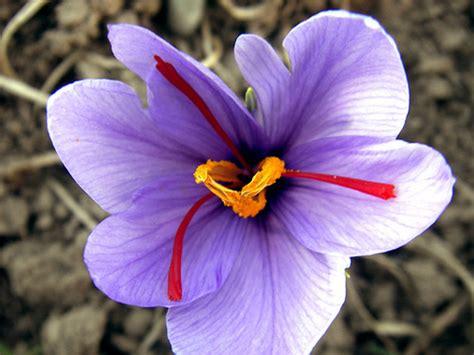 saffron flower flowers for flower lovers saffron flowers details