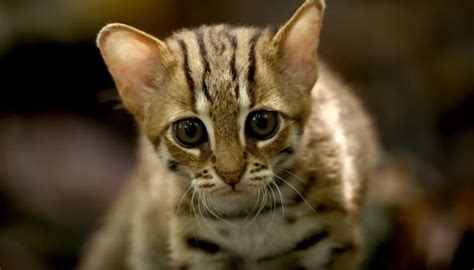 rusty spotted cat bbc smallest wild cats meet enable javascript must play