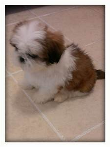 golden brown and white shih tzu puppy for sale | Bristol ...