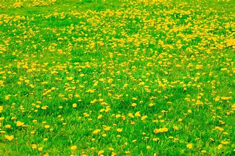 Spring Lawn With Yellow Flowers